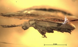 A first putative pelecotomine beetle (Coleoptera...