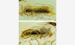 New fossil cylindrical bark beetle (Zopheridae:...
