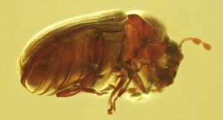 A new species of Xyletinus Latreille (Ptinidae:...