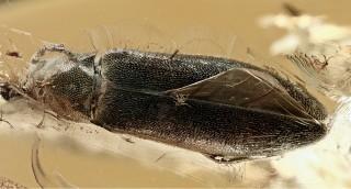 The first new genus of the tribe Hypulini Seidli...