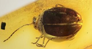 The first extinct species of Monolepta Chevrolat...