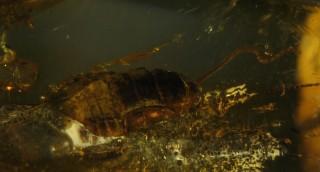 Тараканы в балтийском янтаре