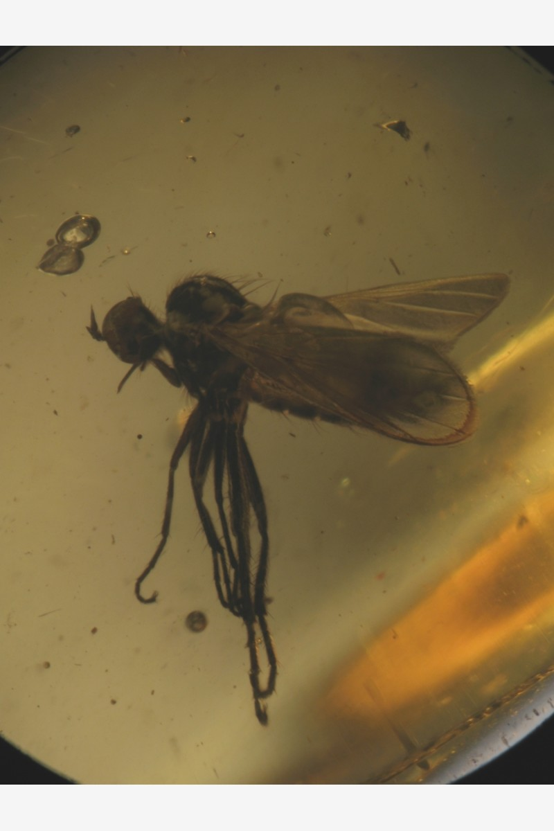 Сем. Dolichopodidae, Acroceridae