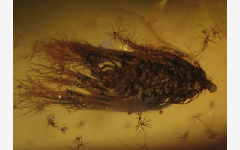 Почечная чешуйка